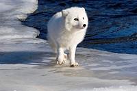 An arctic fox Alopex lagopus walking on the ice.