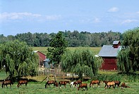 Horse graze in a pasture on a farm. Equus caballus