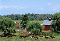 Horse graze in a pasture on a farm. Equus caballus