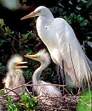 Great Egret Ardea alba in nest with chicks. Threatened species. Florida.