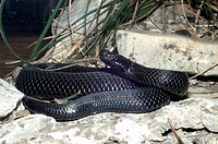 Kaznakov´s Viper, Vipera kaznakovi, is a small and little_known species of viper that is only found in a small area bewteen the Black and Caspian seas...