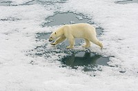 A polar bear crosses an ice floe in the Svalbard Archipelago, Norway. Ursus maritimus