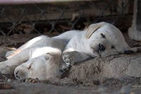 Yellow Labrador retriever puppies sleeping.