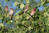 Male and female purple finches Carpodacus purpureus in an aspen tree.