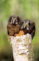 Young boreal owl chicks Aegolius funereus, northern Alberta, Canada.