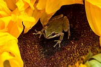 Pacific treefrog Pacific chorus frog, Hyla regilla Pseudacris regilla, on sunflower, Helianthus sp.