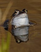 Close_up view of a toad in water