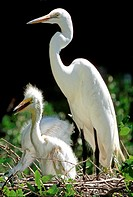 Great Egret Ardea alba adult with young. Threatened species. Florida.