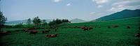 Cows Grazing In Field,Korea