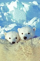 Three_month old twin polar bear cubs Ursus maritimus resting on their mother´s back, coastal Hudson Bay, Canada.