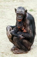 Female bonobo Pan paniscus with her infant.