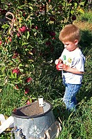 A three year old boy picks apples in an orchard near Emmett, Idaho.