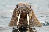 Atlantic walrus Odobenus rosmarus, Svalbard Archipelago, Arctic Norway
