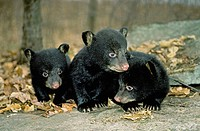 Three_month old black bear cubs Ursus americanus exploring outside their natal den, northern hardwood forests, Pennsylvania, USA.
