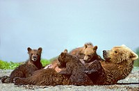 Mother brown bear Ursus arctos nursing triplet 4_month old cubs of the year, Coastal Alaska.