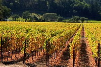 Rows of grape vines at a vineyard in Napa Valley, California after harvest.
