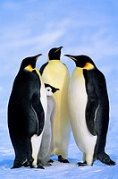 Adult emperor penguins Aptenodytes forsteri and chick, Atka Bay colony, Weddell Sea, Antarctica.