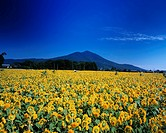Mt Tsukuba, Akeno sunflower, Yame sunflower, Chikusei, Ibaraki, Japan