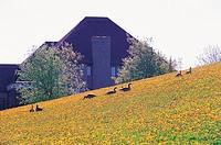 Dandelion Field,Ontario,Canada