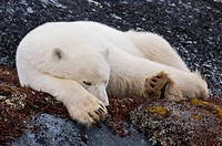 Polar Bear, Ursus maritimus, in the Churchill Wildlife Management Area, Hudson Bay, Churchill, Manitoba, Canada.