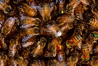 Honeybees Apis mellifera dance to communicate, among other things, the location of food sources. These bees are colored and numbered for identificatio...