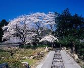 Cherry blossoms, Myoutuji, Obamashi, Fukui, Japan