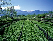 Horseradish field North Alps Hotaka North Alps _ Nagano Japan
