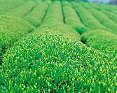Green Tea Plantation,Korea