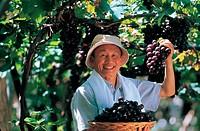 Grape Harvest,Korea