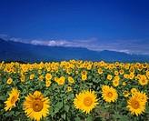 Sunflower field, Akeno, Yamanashi, Japan