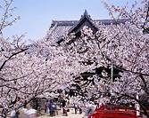 Flower, Pink, Cherry Blossoms, Kimiidera, Wakayama, Wakayama, Japan