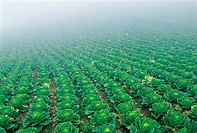 Chinese Cabbage Farm,Gangwon,Korea