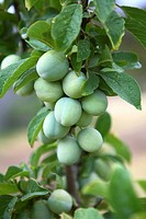 Green apricots on the branch