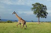 Giraffe in grasslands of Masai Mara