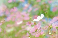 Cosmos in field, high angle view, close up, differential focus, Nagano prefecture, Japan