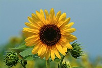 Sunflowers in field, front view, close up, differential focus