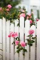 Rose bush growing over white picket fence