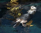 Otter swimming on back on water's surface in aquarium in Lisbon, Spain