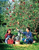Apple Orchard,Korea