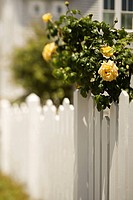 White picket fence with rose bush with blooming yellow roses