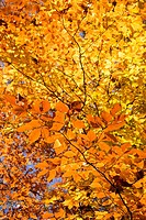 Close_up of American Beech tree branches covered with brightly colored Fall leaves.