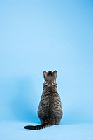 Back view of gray striped cat sitting on blue background