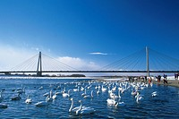 a Large Bridge and a Large Group of Swans Swimming In the Lake Under It, Front View, Hokkaido Prefecture, Japan