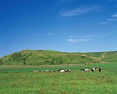 Several Cows Eating Grass on a Huge Field as Pasture, Hokkaido Prefecture, Japan