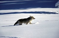 Coyote (Canis latrans). Yellowstone National Park, Wyoming, USA