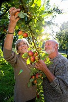 Mature couple picking apples in orchard, smiling lens flare