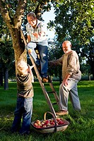 Family of three generations picking apples, father on ladder throwing apple to son 7-9