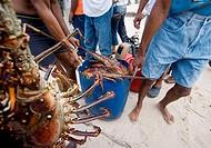 Lobster, Samana Peninsula, Dominican Republic