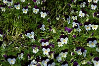 Close_up of a field of pansies