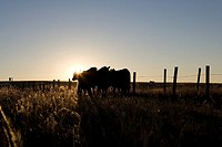 Silhouetted cattle on Cypress Hills.
